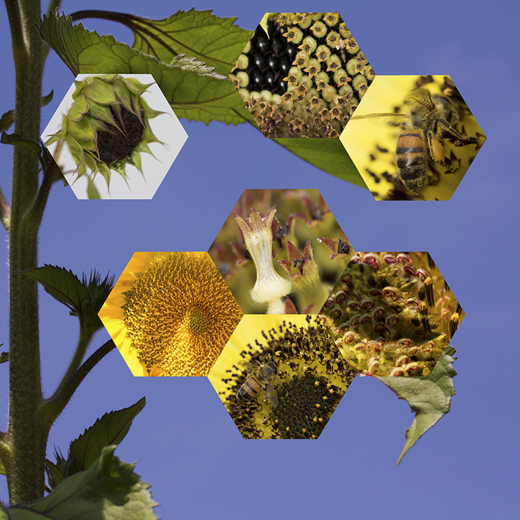 "Nancy Macko: Sunflower (Helianthus Annuus); Archival digital print mounted on white Sintra and faced with Plexiglas, 38 ½"" X 40"""