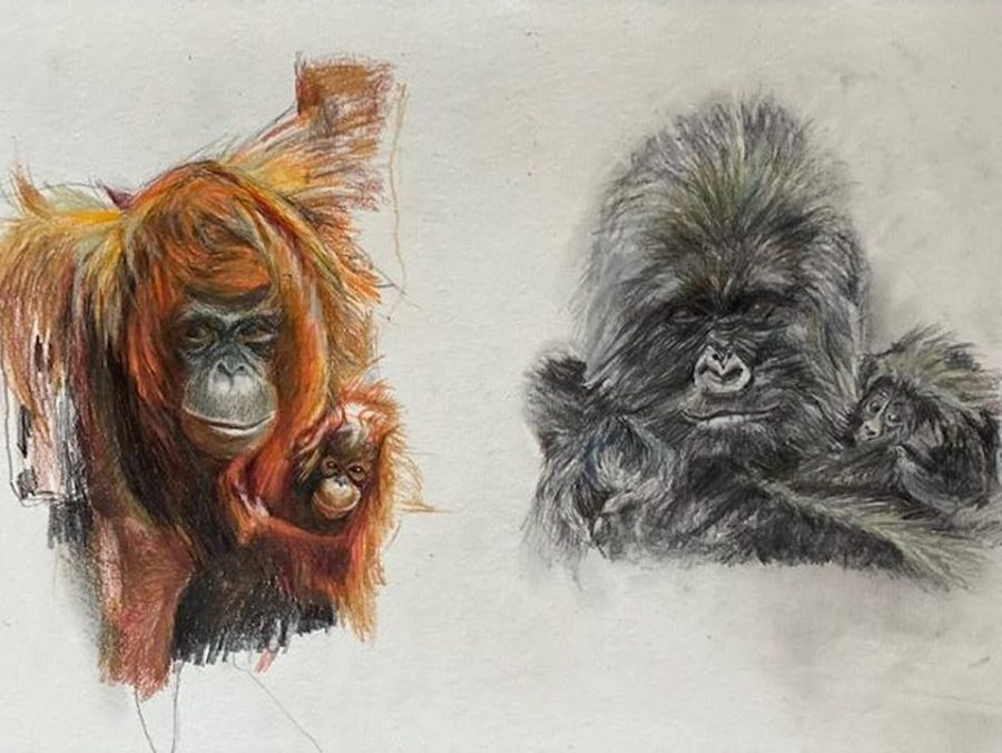 """Nancy Webber; Orangutan and Infant. Mountain Gorilla with Baby; graphite and colored pencil on paper; 18"""" x 24""""; 2021"""